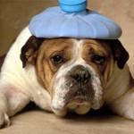 bulldog-enfermo